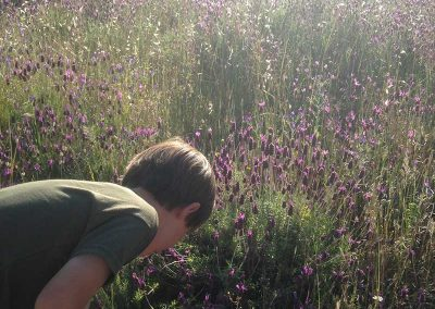 picking wild lavender